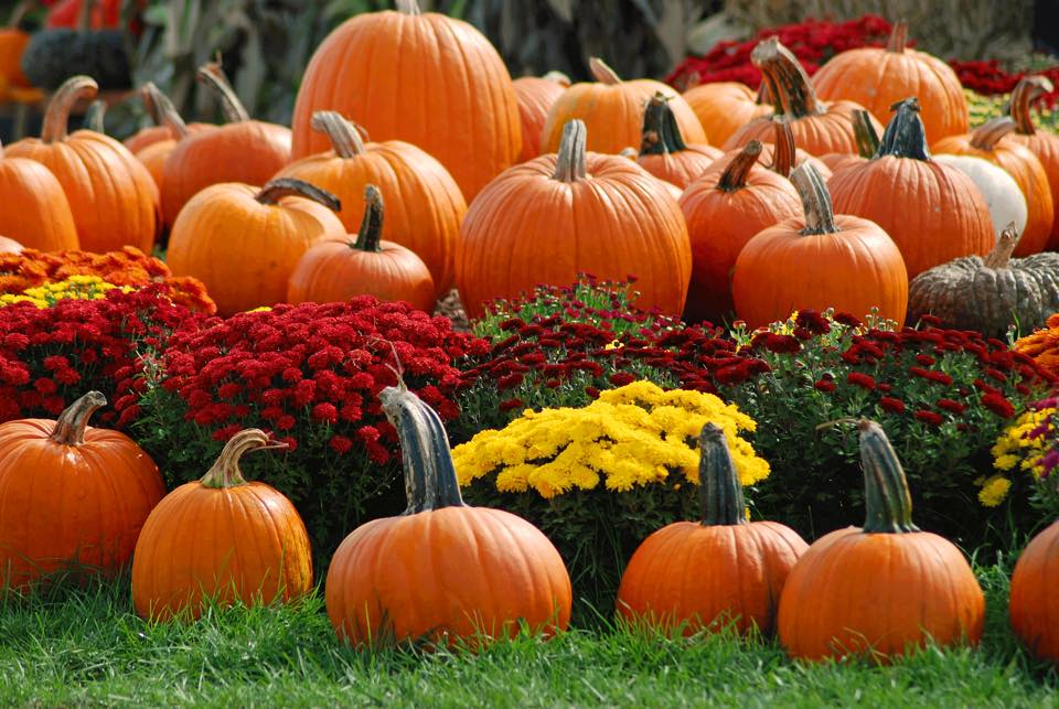 A large group of pumpkins